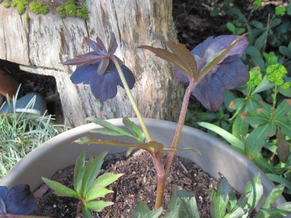 "Hellebore ""Black Diamond"" flower petal reverse blue"