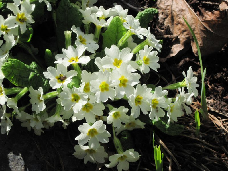 primula white with yellow centres
