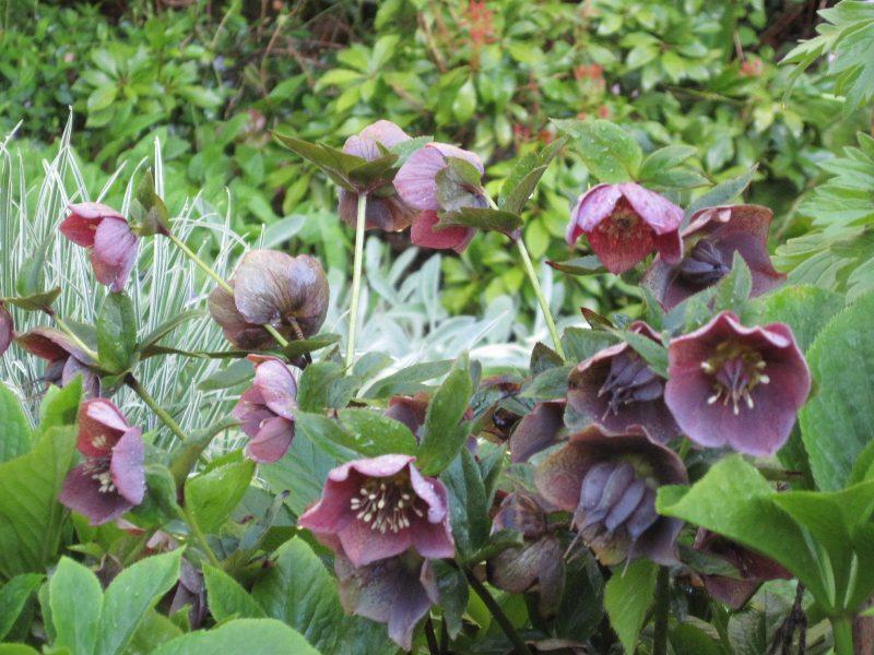 Mature dark pink-purple hellebore flowers