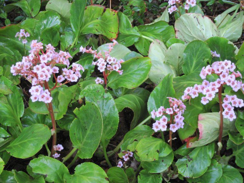 Bergenias in bloom pale pink