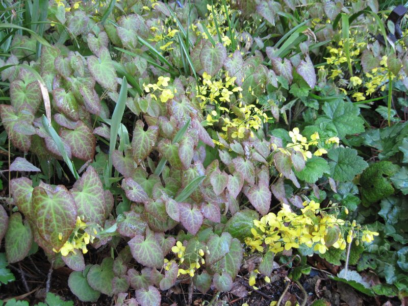 "Yellow blooms and new foliage of Epimedium x perralchicum ""Frohnleiten"""