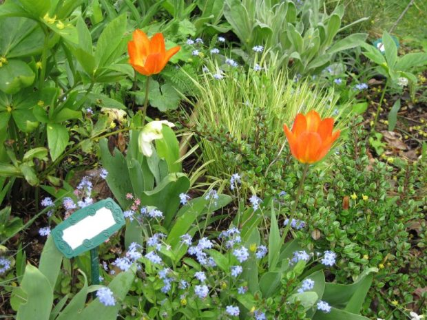 Orange tulips and forget-me-nots with iris cristata and molinia caerulea variegata