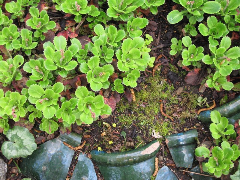 London Pride (Saxifraga x urbium) and broken pot fragments