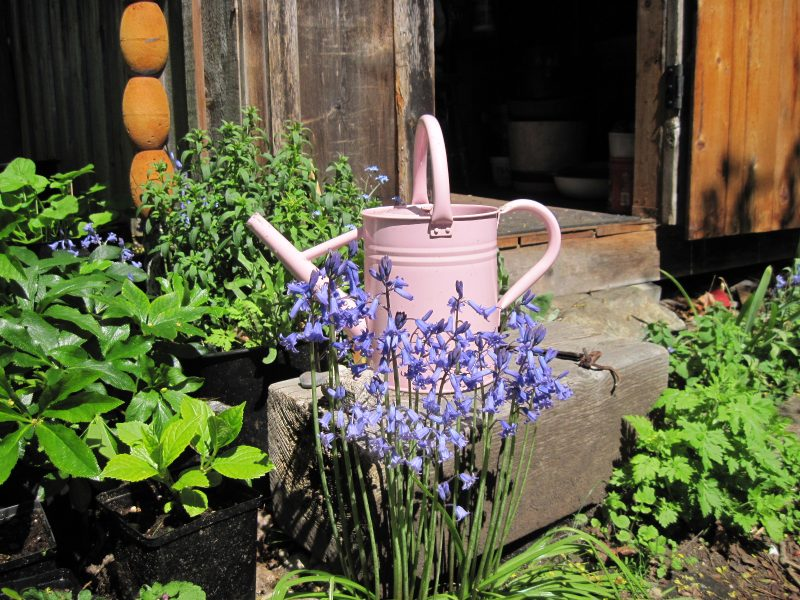 Bluebells and cute pink watering can in front of shed