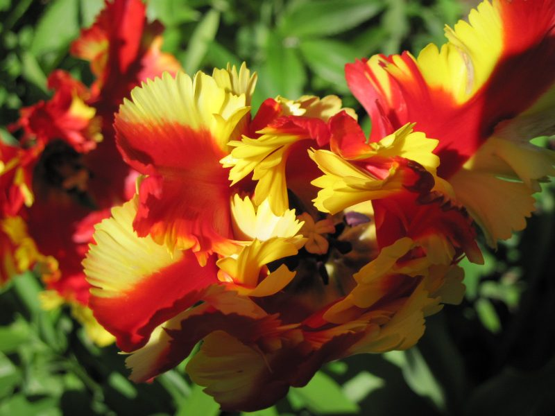 Red and yellow parrot tulips close up