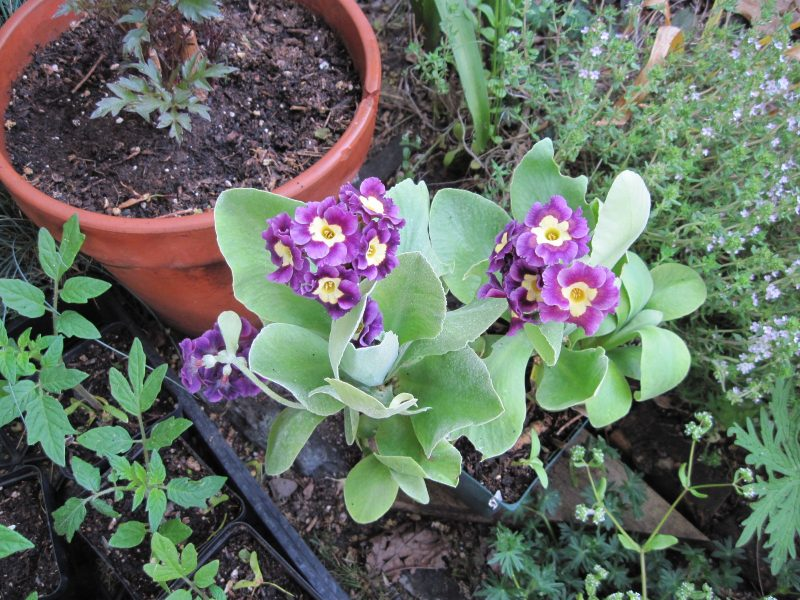 Primula auricula in bloom with tomato plants and potted dahlia with blooming thyme in background