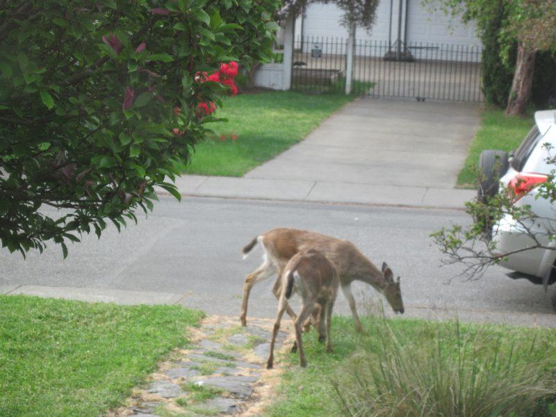 Urban deer