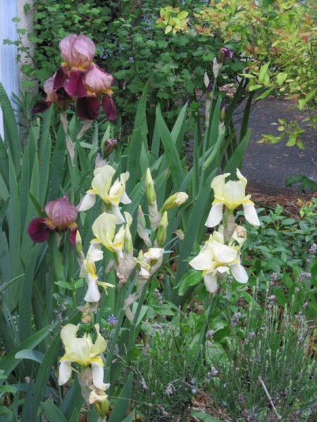 Pale yellow irises with dark red purple bearded irises