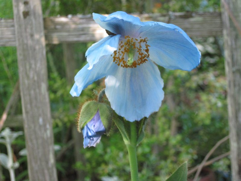 "Meconopsis sheldonii ""Lingholm"" (grandis) Himalayan blue poppy"