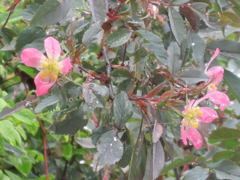 Rosa glauca, red-leaf rose, blooming in the rain
