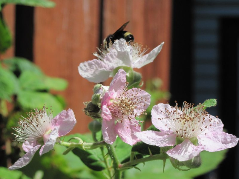 Blackberry flowers and bee