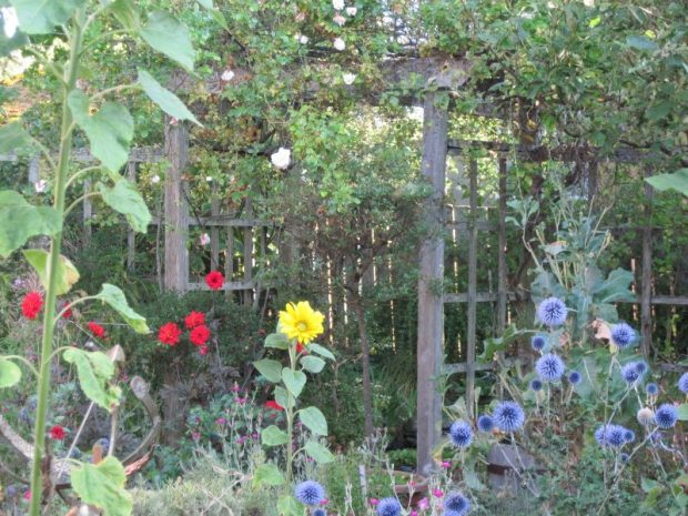 "Back garden: sunflowers, Echinops ritro, dahlia ""Bishop of Llandaff"""