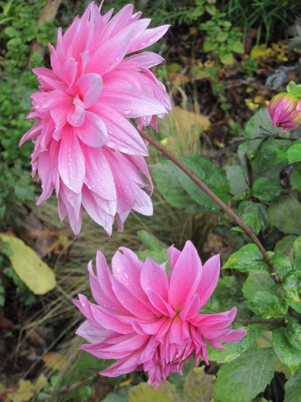Dahlia (variety name unknown)