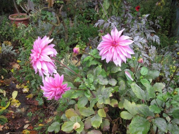Dahlia (variety name unknown) amid autumn messiness