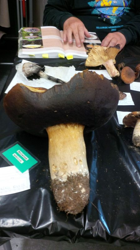 Giant specimen of Boletus edulis at SVIMS Mushroom Show Nov. 3, 2019