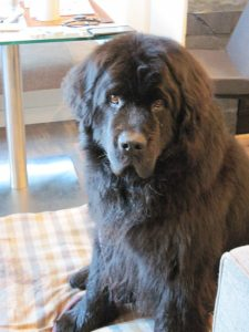 Nelly the Newfoundland dog