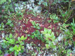 A tapestry of plants near the boardwalk: lichen (?), salal, cedar seedlings, etc.
