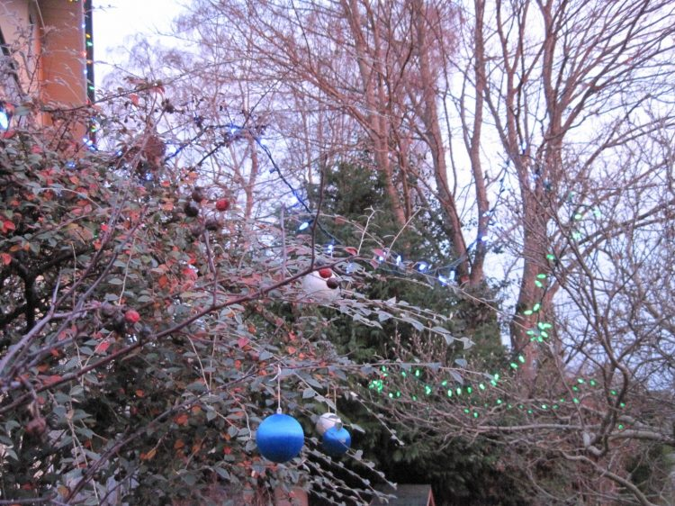 Christmas lights and ornaments on cotoneaster with bare maple in background, 2019