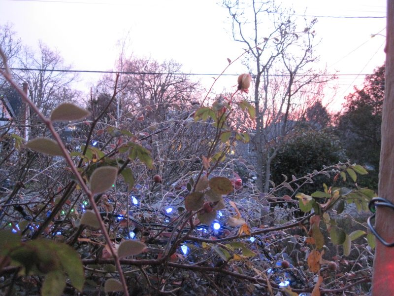 Blue Christmas lights in cotoneaster with trees, shrubs, and pink sky in background