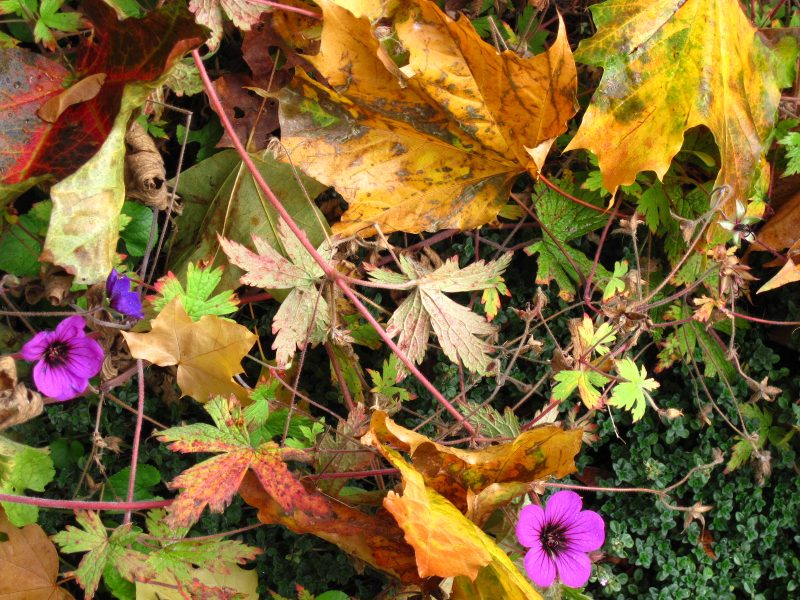 "Fallen maple leaves and Geranium ""Anne Folkard"" October 2011"