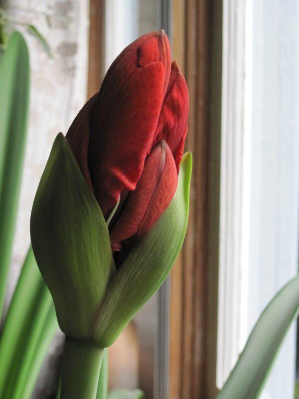 Scarlet amaryllis bud opening 2020