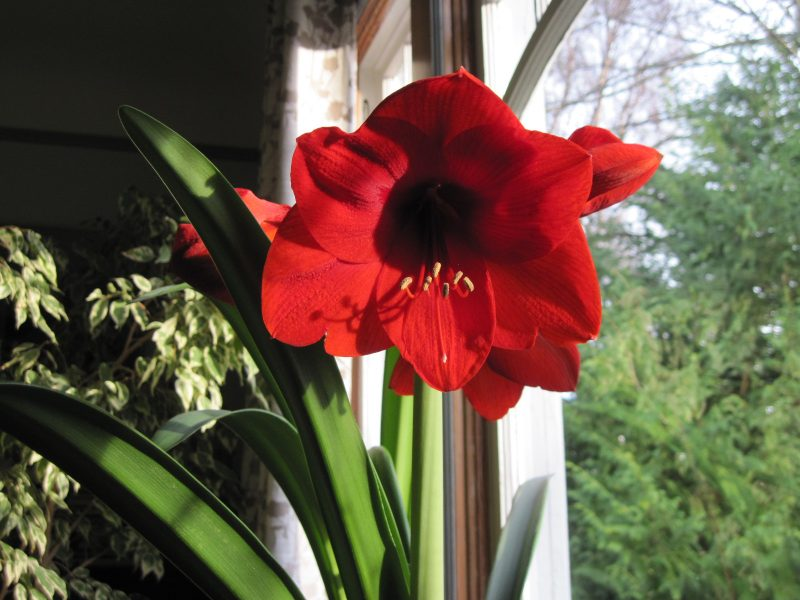Scarlet amaryllis flower 2020