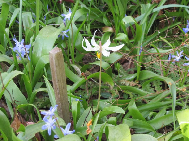 Erythronium oregonum, Fawn lily