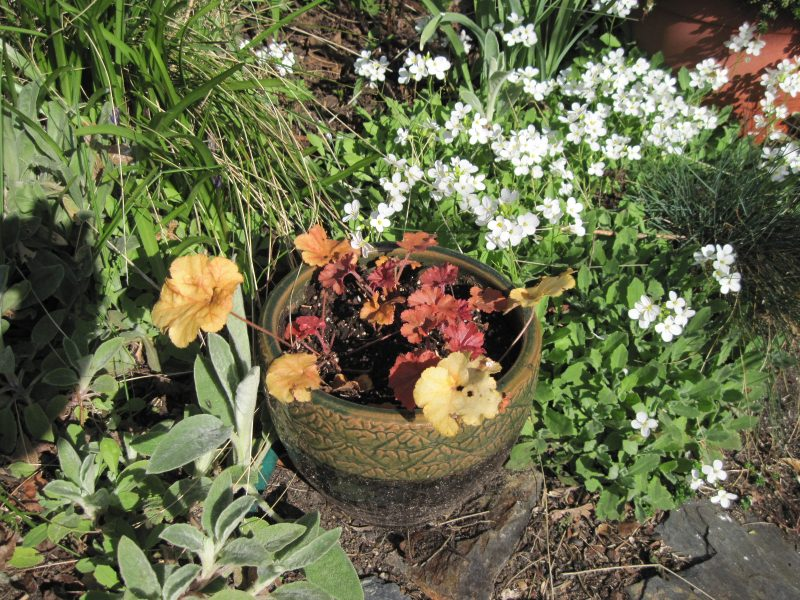 Heuchera and white Arabis