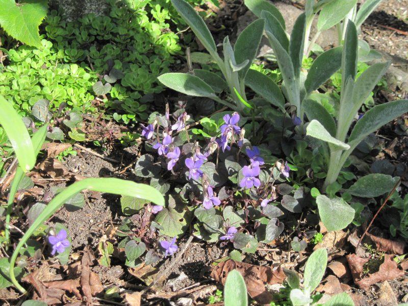 Labrador violet (Viola labradorica)