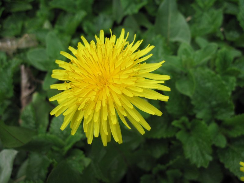 Dandelion, Taraxacum officinale. closeup of flower