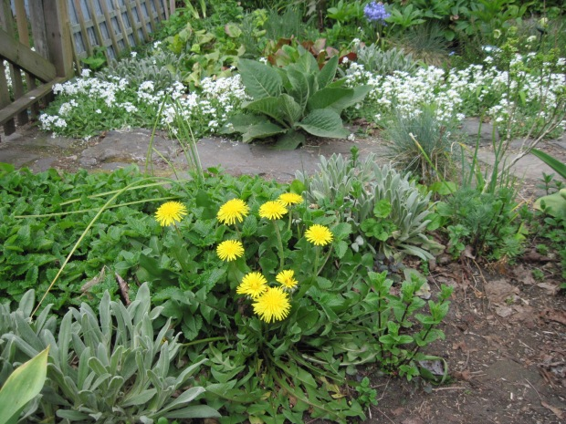 Pet dandelion with campion and lemon balm, with mullein (Verbascum chaixii) and white arabis on far side of path