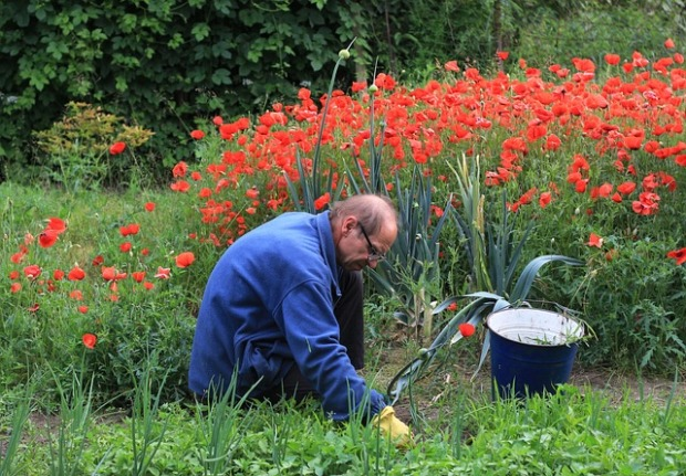 Older man working in garden in a kneeling position