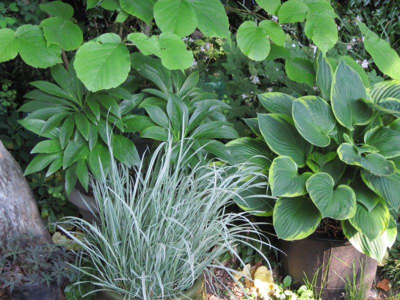 Foliage: hellebore, hosta, variegated grass, and Chinese witch hazel, May 2020