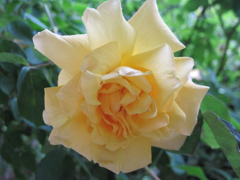 Creamy yellow rose