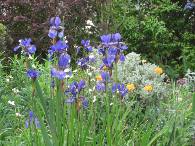 Blue Siberian irises, orange poppies and Libertia grandiflora, May 2020