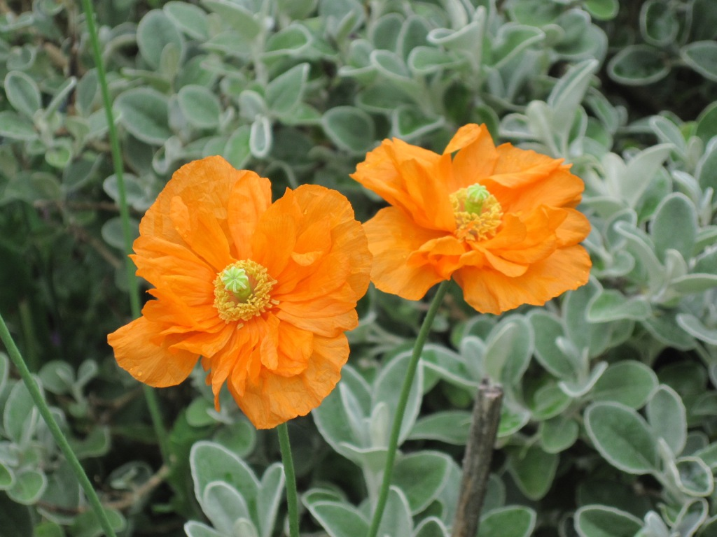 Orange poppy, Papaver rupifragum