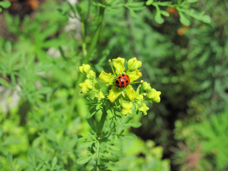 Ladybug on rue flower