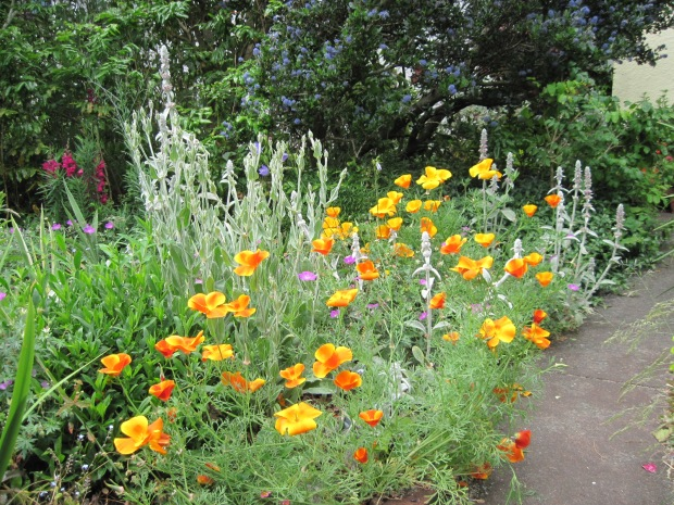 Plants along front walk: orange California poppies (Eschscholzia californica) in bloom; blue Ceanothus blooming in background