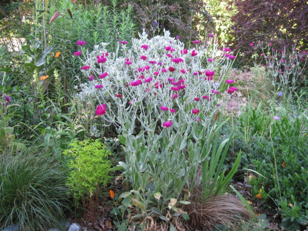 Perennials in the front garden, notably Rose Campion (Lychnis coronaria)