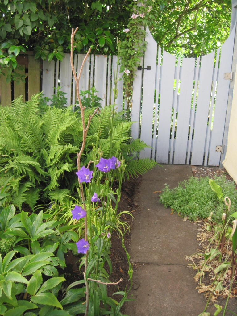 Side gate between front and back gardens with fern and peach-leaved bellflower