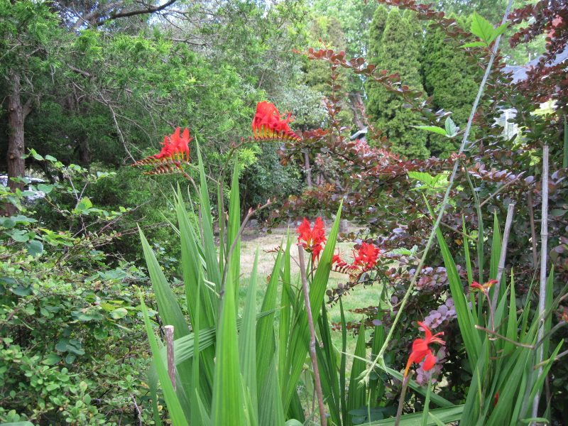 "Crocosmia ""Lucifer"" with flowers eaten by deer"