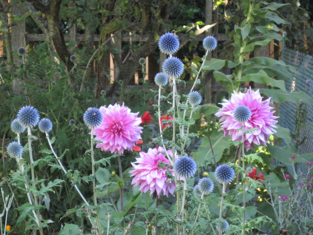 Pink dahlia and Echinops ritro