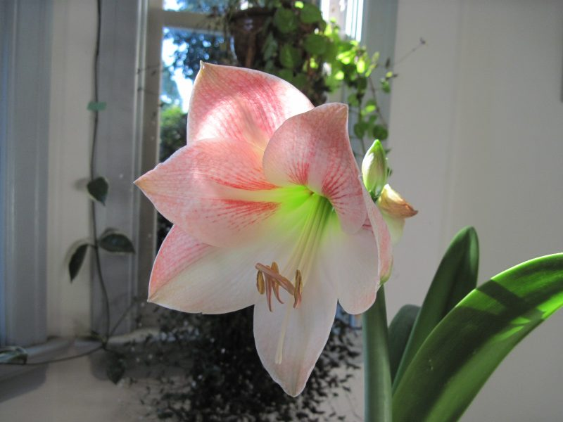 "Amaryllis ""Apple Blossom"" August 2020"