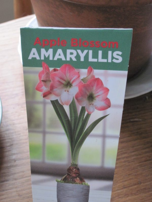 "Amaryllis ""Apple Blossom"" Label"