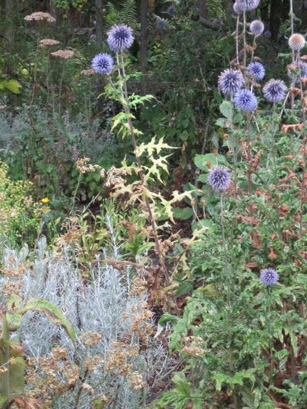 Echinops ritro and Helichrysum italicum
