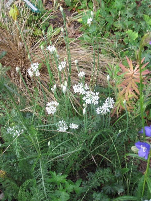 Garlic chives (Allium tuberosum) in bloom
