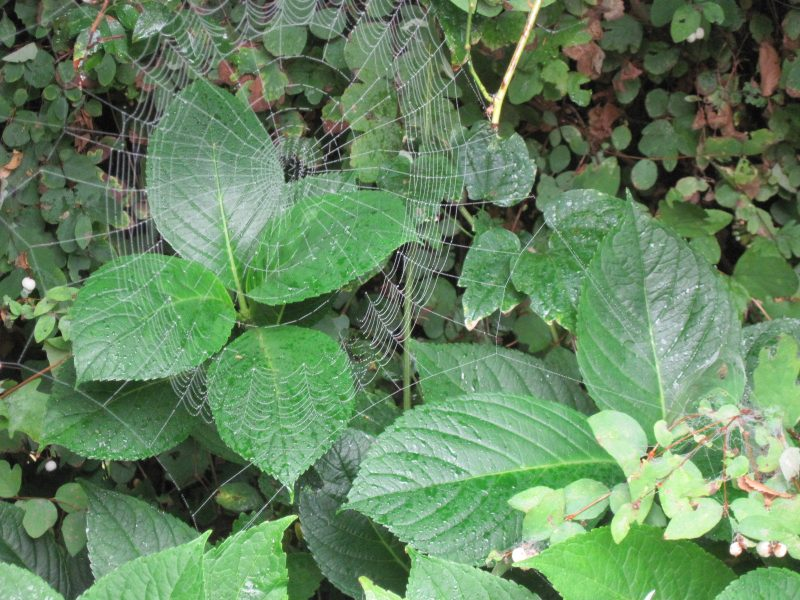 Spider web and hydrangea foliage