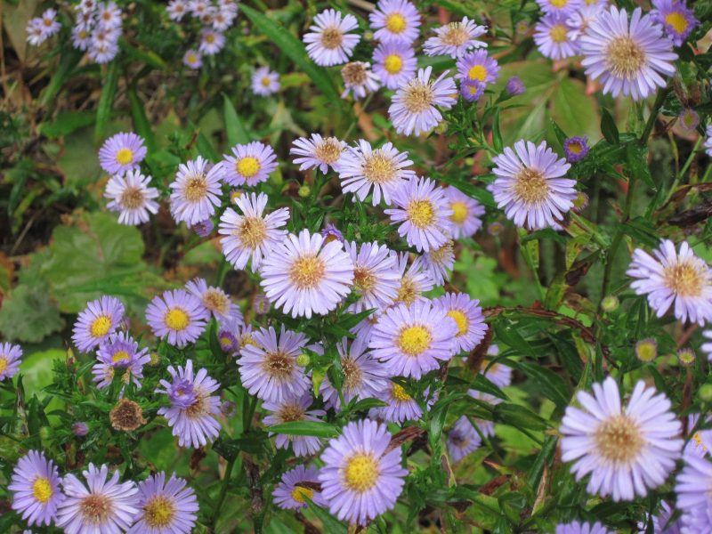 Light purple asters