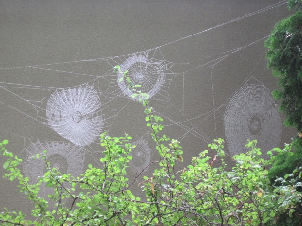 Spider webs by Japanese quince September 2020