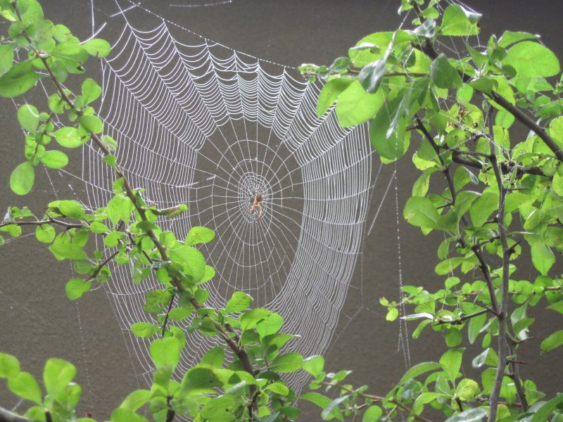 Web of Orb-Weaver Spider in Japanese Quince September 2020